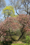 Crab Apple Tree - Garden View