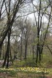 Daffodils - Central Park West near West 96th Street