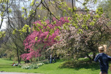 Cherry & Crab Apple Blossoms - Central Park West near West 96th Street