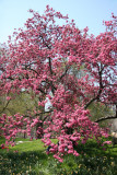 Cherry Blossoms - Central Park West near West 96th Street
