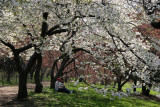 Cherry Blossoms by the Reservoir - Central Park West