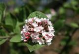 Viburnum Blossoms by the Reservoir - Central Park West