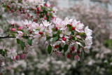 Crab Apple Tree Blossoms