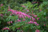 Bleeding Hearts or Dicentra