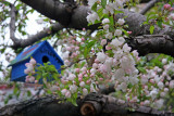 Apple Tree Blossoms at the Community Garden