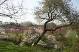 Cherry Tree Grove