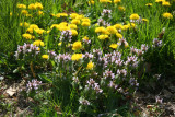 Dandelions & Lamium - Cherry Tree Grove