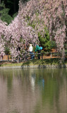 Cherry Tree Blossoms - Japanese Garden