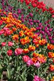 Tulips - Brooklyn Botanical Gardens