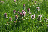 Lamium Blossoms in Grass