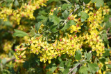 Barberry Blossoms?