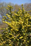 Mahonia - Brooklyn Botanical Gardens