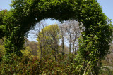 Norway Maple Framed with a Rose Arbor