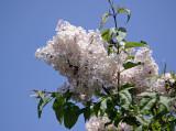 Lilacs - Brooklyn Botanical Gardens