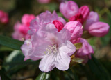 Rhododendrons - Brooklyn Botanical Gardens