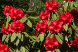 Red Rhododendron - Conservatory Gardens