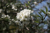 Olive Tree Blossoms - Conservatory Gardens