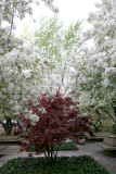 Crab Apple Tree Blossoms & Japanese Red Leaf Maple