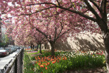 Cherry Tree Blossoms & Tulips