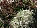 Rose Arbor & Apple Tree Blossoms