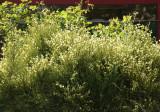 Scotch Broom Blossoms
