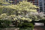 Dogwood & Crab Apple Tree Blossoms
