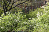 Garden View - Unknown Tree Blossoms