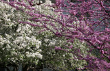 Cercis & Crab Apple Tree Blossoms
