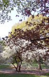 Apple Tree Blossoms & New Maple Tree Foliage - Conservatory Pond Area