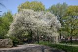 Apple Tree in Bloom near Bethesda Fountain