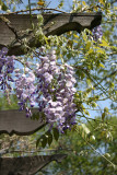 Wisteria behind the Band Shell