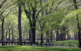 The Mall Literary Walk - American Elm Trees