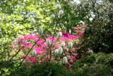 Azalea - Strawberry Fields Area