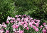 Tulips - Strawberry Fields Area