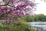 Cercis Tree in Bloom - Westside of the Lakeshore
