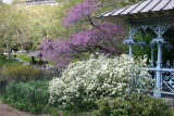 Fothergilla & Cercis Blossoms at the Ladies' Pavillion - Westside of the Lakeshore