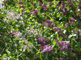 Lilac Blossoms - Westside of the Lakeshore