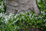 Galium at the Base of a Sycamore Tree - NYU Admissions Center Garden