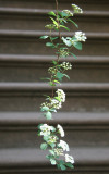 Spirea Hanging over a Stoop