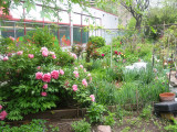 Garden View - Tree Peony