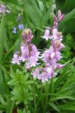 Lavender Blue Bells