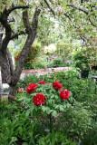 Garden View - Peonies & Apple Tree