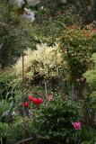 Garden View - Scotch Broom Bush in Bloom