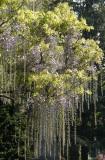 Osborne Garden - Wisteria & Cherry Tree Blossoms