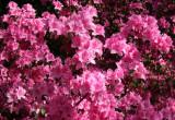 Osborne Garden - Azalea