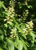 Osborne Garden - Buckeye Tree Blossoms