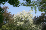 Osborne Garden - Cherry Tree Blossoms