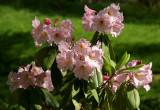 Native Plant Garden - Rhododendron