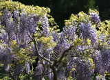 Wisteria near the Lilac Collection