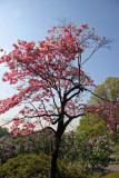 Pink Dogwood Tree Blossoms